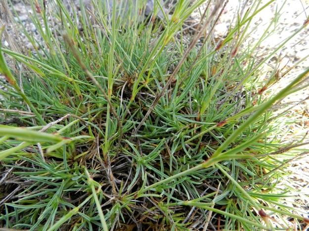 Dianthus arenarius subsp. borussicus - hietaneilikka subsp. idänhietaneilikka on hyvin kapealehtinen. Aluslehdet ja varsilehdet ovat vastakkain pareittain ja ne ovat tyvestä kasvaneet yhteen lyhyeen tuppeen. Lehdillä on pituutta noin 1,5-5 cm ja leveyttä vain 0,5-1,5 mm. V, Kemiönsaari, 14.7.2012. Copyright Hannu Kämäräinen.
