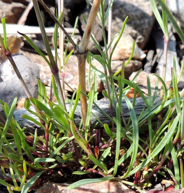 Gypsophila fastigiata - kangasraunikin lehdet ovat ruodittomia ja sijaitsevat pareittain vastakkain. Ne ovat sinivihreitä, paksuhkoja ja noin 1,5-4 cm pitkiä sekä hyvin kapeita, vain noin 0,5-2 mm leveitä. ES, Imatra, Immola radanvarsi, 9.7.2015. Copyright Hannu Kämäräinen.