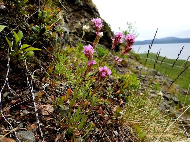 Viscaria alpina (Lychnis alpina) var. alpina - pikkutervakko var. kalliopikkutervakko kasvaa tavallisesti muutaman kukkavarren yksilöinä. Varsilehtipareja on yleensä 2-4. Ylemmät varsilehdet ovat alempia lyhyempiä, mutta usein niitä leveämpiä, kuten kuvassa. EnL, Enontekiö, Kilpisjärvi, Saanan lounainen alarinne, alin, matala pahtaseinämä retkeilykeskuksen leirintäalueen kohdalla, luonnonsuojelualue, 600 m mpy, 5.7.2018. Copyright Hannu Kämäräinen.