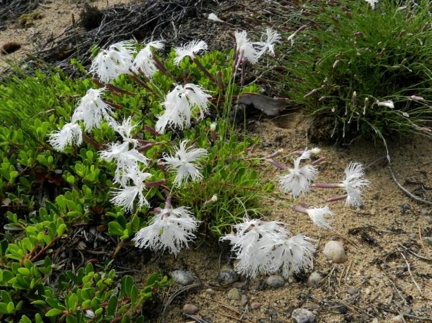 Dianthus arenarius subsp. borussicus - hietaneilikka subsp. idänhietaneilikka joutuu kamppailemaan avoimesta elintilasta muiden lajien kanssa. Juurelle levittäytyy vahva kilpailija, sianpuolukka, Arctostaphylos uva-ursi. U, Raasepori, 18.6.2012. Copyright Hannu Kämäräinen.