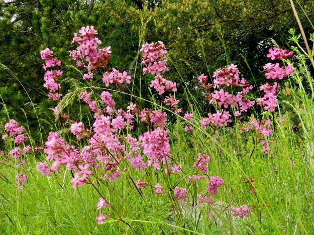 Viscaria vulgaris (Lychnis viscaria) - mäkitervakko on monivartinen ja noin 25-50 cm korkea. Terttumainen, yleensä tiheähkö kukinto on varren latvassa. Kukat ovat kaksihaaraisesti 2-6 kukan lyhytperäisinä osakukintoina. EH, Janakkala, Harviala, taimitarha-alueen laitaketo, 9.6.2012. Copyright Hannu Kämäräinen.