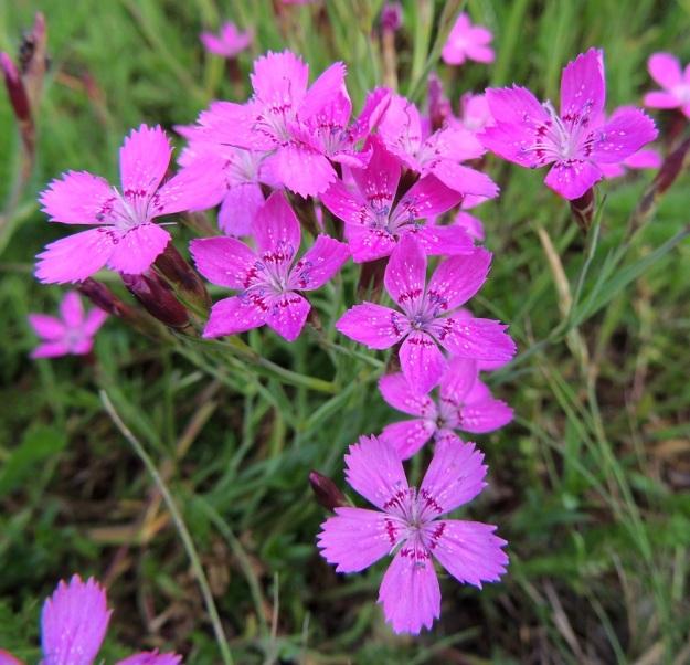 Dianthus deltoides - ketoneilikan kukat ovat yleensä eriasteisen punaisia ja noin 15-20 mm leveitä. Itsepölytyksen estämiseksi heteet nousevat useimmiten ensin esiin ja vasta niiden kuihtuessa kehittyvät luotit. Samassakin yksilössä on kuitenkin vaihtelua, kuten kuvakin osoittaa. Oikean yläkulman kukassa karvaiset luotit pörhistelevät sinipunapontisten heteiden kanssa samaan aikaan. EH, Hämeenlinna, Sairio, radanvarsiketo Vanajaveden rannassa, 21.6.2013. Copyright Hannu Kämäräinen.