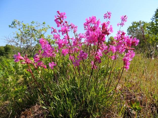 Viscaria vulgaris (Lychnis viscaria) - mäkitervakon vanhemmat yksilöt ovat runsailla tyviruusukkeillaan mätästäviä. Kukinnan alkuvaiheessa tertut ovat harvempia, koska osakukintojen ensimmäiset kukat ovat ehtineet vasta aueta. Kukkavarsissa, ylempien nivelten alla näkyvät ruskeanpunaisina vahvantahmeat kohdat, joista kasvi on saanut myös tervakukan nimen. A, Lemland, Herröskatan, luonnonsuojelualue, kallioketo, 8.6.2014. Copyright Hannu Kämäräinen.