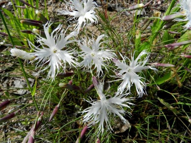 Dianthus arenarius subsp. borussicus - hietaneilikka subsp. idänhietaneilikka on valkoterälehtinen. Terälehtien kärkiosa on yleensä leveä ja syvään hienoliuskainen ja noin 15-18 mm pitkä. Kukat ovat kaksineuvoisia ja heteitä on kymmenen ja emin luotteja kaksi. U, Raasepori, 18.6.2012. Copyright Hannu Kämäräinen.