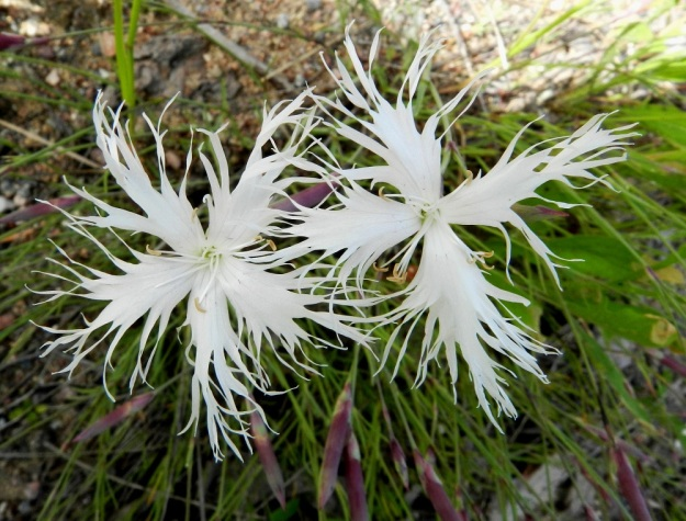 Dianthus arenarius subsp. borussicus - hietaneilikka subsp. idänhietaneilikka on kukiltaan lähes aina viisiterälehtinen. Poikkeus vahvistanee säännön. U, Raasepori, 18.6.2012. Copyright Hannu Kämäräinen.