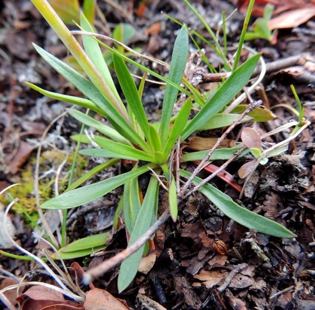 Viscaria alpina (Lychnis alpina) var. alpina - pikkutervakko var. kalliopikkutervakko kasvattaa juurakostaan myös kukkavarrettomia ruusukkeita. Kasvin ikääntyessä ruusukkeet voivat muodostaa tiiviitä, laajenevia kasvustopatjoja. Ruusukelehdet ovat siipipalteisesti ruodilliset ja ruoti vaihtuu lehtilapaan ilman selvää rajaa. Lapa on yleensä lähes tasasoukka tai suikea. Ruusukelehdillä on ruotineen pituutta tavallisesti enintään 5 cm. EnL, Enontekiö, Kilpisjärvi, Saanan jyrkkä lounaisrinne, tunturipaljakkakangas retkeilykeskuksen leirintäalueen kohdalla, luonnonsuojelualue, 635 m mpy, 16.7.2013. Copyright Hannu Kämäräinen.