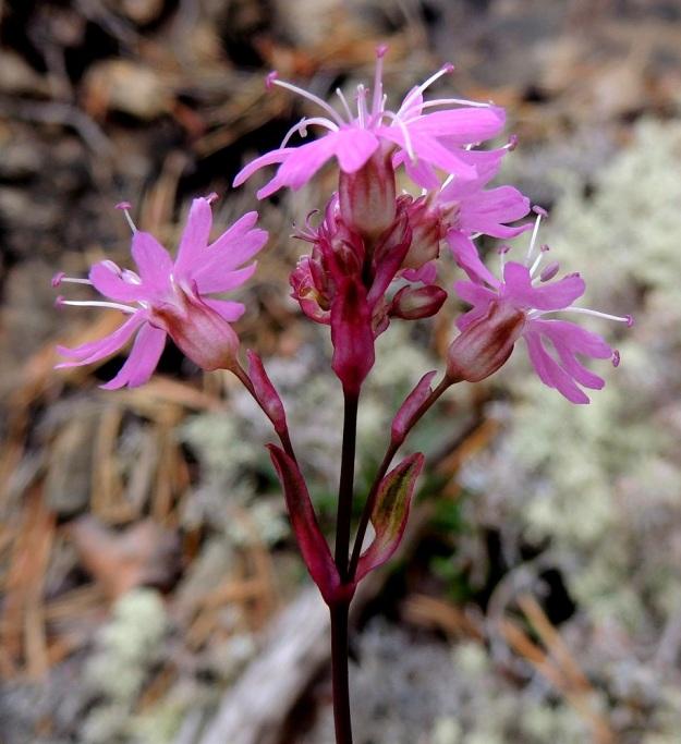 Viscaria alpina (Lychnis alpina) var. serpentinicola - pikkutervakko var. serpentiinipikkutervakko on nimimuunnoksen tavoin kukinto-osastaan punasävyinen. Kuvan yksilöllä kukkien tukilehdet ja kukkaperät ovat noin 2 mm pitkiä. Verhiö on 10-suoninen ja kärkihampaineen noin 4,5 mm pitkä. Teriön läpimitta on noin 10 mm. Kn, Paltamo, Mieslahti, Talolanmäki, Oulujärven Pitkäperän itärannalla oleva Matokallio, 11.7.2015. Copyright Hannu Kämäräinen.