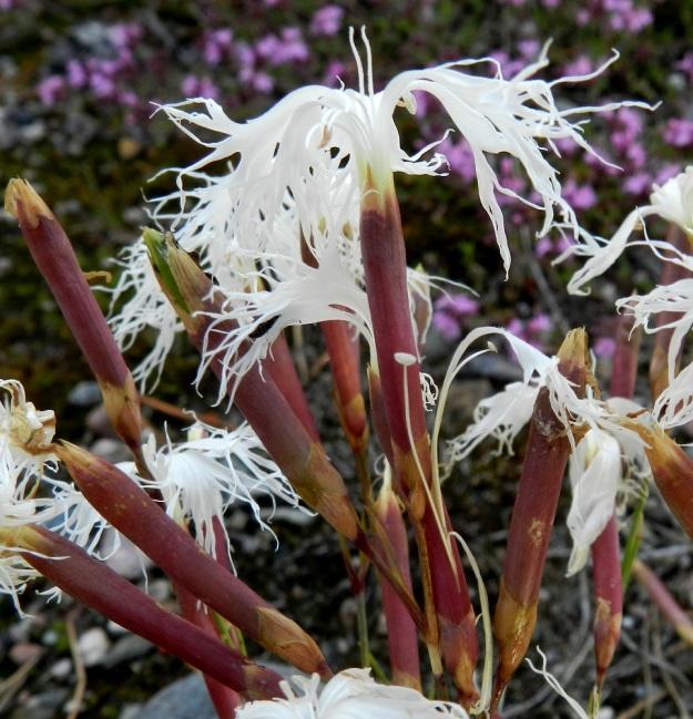 Dianthus arenarius subsp. borussicus - hietaneilikka subsp. idänhietaneilikka on kukkaverhiöiltään pitkä ja kapea. Ne ovat liereitä, noin 25-30 mm pitkiä ja 3-4 mm leveitä. Väri on kuvan kukkien tapaan punaruskea tai vihertävä. Kuvan alaosassa näkyy sivustaan haljennut verhiö, josta on pullahtanut ulos heteitä ja yksi terälehti. Kuten kuvasta näkyy, terälehden tyviosa on kapean tasasoukka ja ainakin yhtä pitkä kuin sen liuskainen kärkiosa. V, Kemiönsaari, 14.7.2012. Copyright Hannu Kämäräinen.