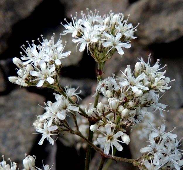 Gypsophila fastigiata - kangasraunikin kukat ovat valkoiset ja noin 5-10 mm leveät (kuvassa 7-8 mm). Heteet (10) ja luotit (2) ovat voimakkaasti kukasta ulkonevia. ES, Imatra, Immola radanvarsi, 9.7.2015. Copyright Hannu Kämäräinen.