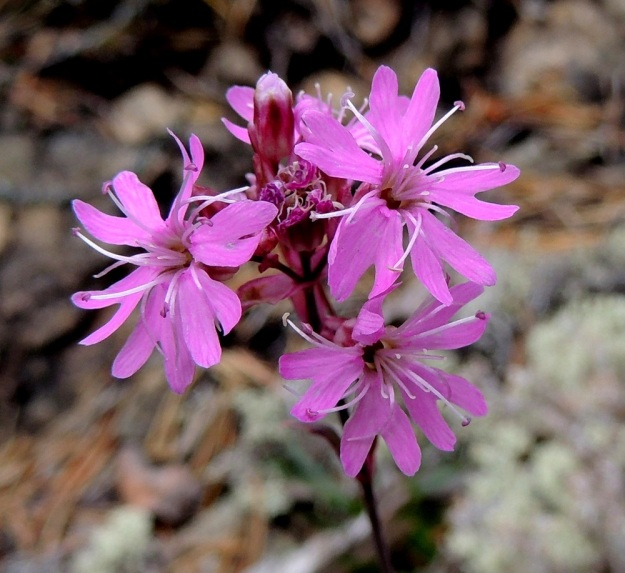 Viscaria alpina (Lychnis alpina) var. serpentinicola - pikkutervakko var. serpentiinipikkutervakko on kukiltaan samannäköinen kuin nimimuunnos, mutta keskimääräiset mitat ovat hieman pienemmät. Sinipunapontisia heteitä on 10 ja emin luotteja 5. Terälehdet ovat selvästi kaksiliuskaisia. Lukumäärältään niitä pitäisi olla viisi, mutta aina kukat eivät näytä sitä tietävän. Niinpä vasemmanpuoleisessa kukassa terälehtiä onkin kuusi. Lisäteriö erottuu juuri ja juuri ainakin oikeanpuoleisen, ylemmän kukan suulta. Kn, Paltamo, Mieslahti, Talolanmäki, Oulujärven Pitkäperän itärannalla oleva Matokallio, 11.7.2015. Copyright Hannu Kämäräinen.