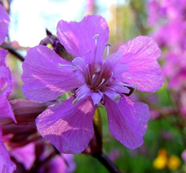 Viscaria vulgaris (Lychnis viscaria) - mäkitervakon kukka on toisinaan sävyltään vaaleanpunainen. Kulloinenkin valaistus vaikuttaa tosin värisävyyn. Terälehdet levenevät kärkeään kohti ja voivat olla samassakin kukassa päästään ehyet, nirhalaitaiset tai lanttopäiset. Kuvassa kymmenen hedettä ovat jo lähellä lakastumistaan ja viisi emin luottia ovat nousemassa esiin. A, Finström, Godby, Sundiin vievän maantien laitametsä, 10.6.2014. Copyright Hannu Kämäräinen.