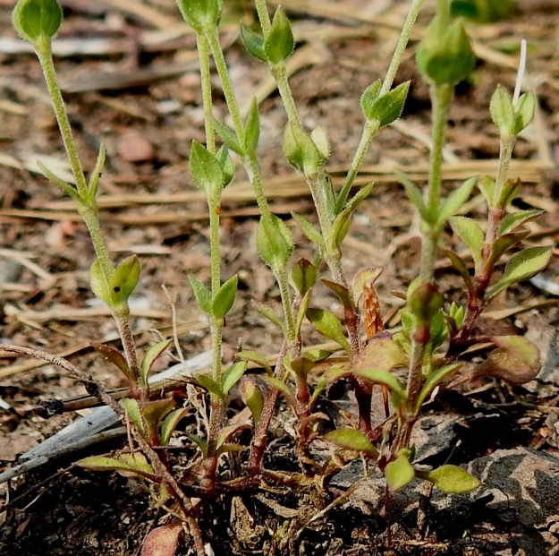 Arenaria serpyllifolia - mäkiarho haaroo tyveltään toisinaan kynttilänjalan tapaan, kuten kuvassa. Lehdet ovat ruodittomasti vastakkain. Alimmat lehdet ovat yleensä malliltaan lusikkamaiset. Muut lehdet ovat kolmiomaisen puikeat ja suippopäiset sekä vaalean- tai harmaanvihreät. Pituutta niillä on tavallisesti noin 2,5-5 mm ja leveyttä leveimmältä kohtaa noin 1,5-3,5 mm. EH, Janakkala, Harviala, taimistoalueen laita, 5.6.2019. Copyright Hannu Kämäräinen.