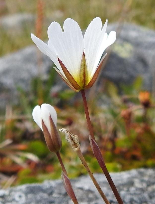 Cerastium alpinum subsp. glabratum - tunturihärkin subsp. kaljutunturihärkin kukkien tukilehdet ovat kalvolaitaisia tai kokonaan kalvomaisia. Verhiön tyvi on kulmikas tai hiukan säkkimäinen. Verholehdet ovat kapeanpuikeat tai soikeat. Ne ovat noin 4-9 mm pitkät ja enintään 0,5 mm:n levyisesti kalvolaitaiset. Terälehdet ovat noin 1,5-2 kertaa verholehtien pituiset. EnL, Enontekiö, Kilpisjärvi, Saanan koillispuoli, Saanajärven luoteispäästä nouseva korkea harjanne, kivikkoinen paljakkarinne, 720 m mpy, 6.7.2018. Copyright Hannu Kämäräinen.