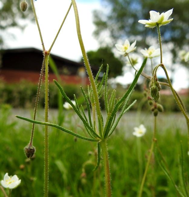 Spergula arvensis subsp. sativa - peltohatikan subsp. pohjanpeltohatikan lehdet ovat nivelissä vastakkain ristikkäisesti niin, että niistä yleensä muodostuu runsas lehtikiehkura, jossa joukossa on usein kuvan tavoin myös lyhyitä haaroja. Lehdet ovat kapean tasasoukat ja tavallisesti noin 10-40 mm pitkät ja noin 0,5-1 mm leveät. Väriltään ne ovat himmeän vihreät. EH, Hämeenlinna, Voutila, Lakee, Louhentien laita, uudistettu nurmialue, 2.7.2017. Copyright Hannu Kämäräinen.