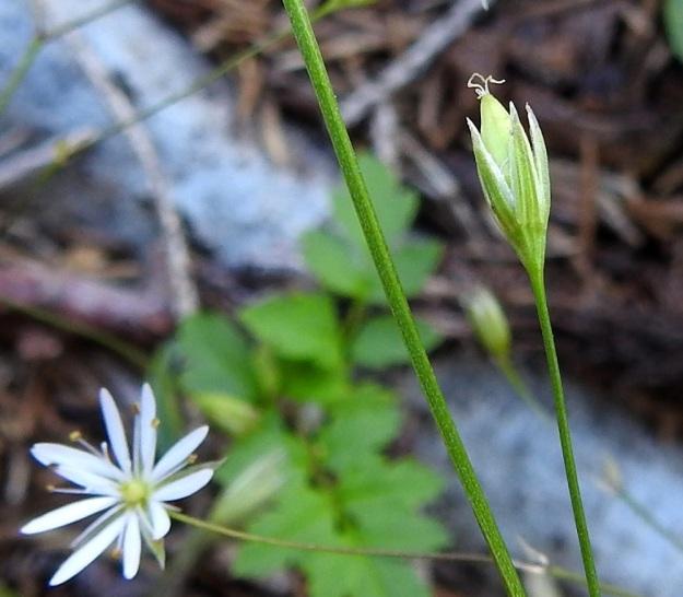 Stellaria graminea - heinätähtimön kota on puikea tai pitkänpyöreä ja noin 5-7 mm pitkä. Se on hieman tai enintään puolitoista kertaa verholehtien pituinen. EH, Hämeenlinna, Vuorentaka, Lakeentien pohjoispäästä lähtevän pelto- ja metsätien laide hakkuuaukean kohdalla, 3.7.2019. Copyright Hannu Kämäräinen.