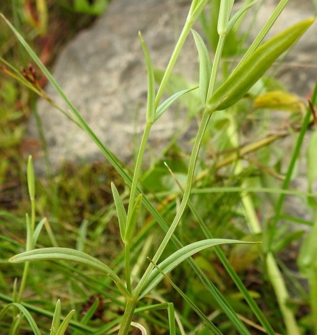 Stellaria palustris - luhtatähtimön varret ovat nelisärmäiset. Lehdet ovat vastakkaiset, ruodittomat ja tavallisesti yläviistoon siirottavat sekä useimmiten tasasoukan suikeat. Ne ovat varren keskiosassa yleensä noin 20-60 mm pitkät ja leveimmältä kohtaa noin 1-6 mm leveät. OP, Oulu, Haukipudas, Martinniemi, Kilpukkaperä, Villenniemen pohjoispuolinen rantaniittyalue, 9.7.2019. Copyright Hannu Kämäräinen.