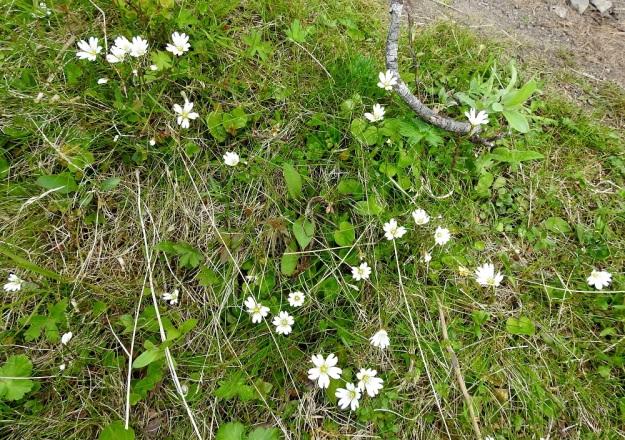 Cerastium alpinum subsp. glabratum - tunturihärkki subsp. kaljutunturihärkki kasvaa mm. kosteilla, rehevillä tunturikankailla. Varret nousevat löysästi mätästäen maansisäisistä rönsyistä. EnL, Enontekiö, Kilpisjärvi, Kalottireitin varsi Iso-Mallan eteläisellä alarinteellä, 645 m mpy, 9.7.2018. Copyright Hannu Kämäräinen.