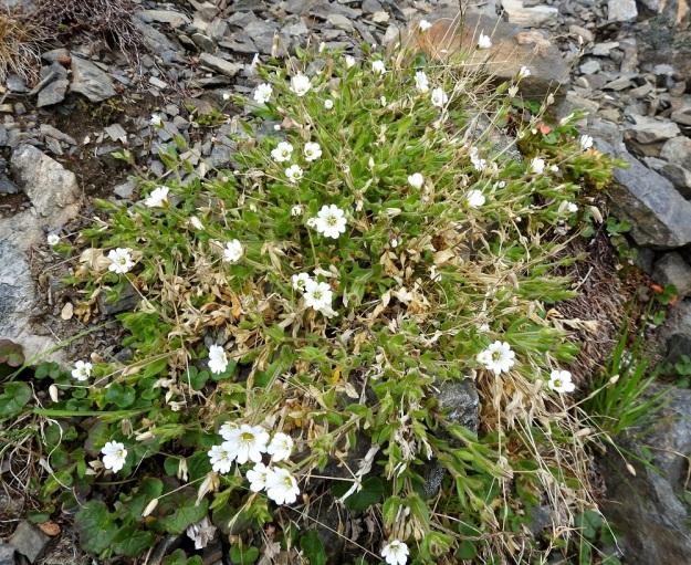 Cerastium alpinum subsp. alpinum - tunturihärkki subsp. karvatunturihärkki on tavallisesti noin 10-25 cm korkea ja usein kasvutavaltaan tiiviin patjamainen. EnL, Enontekiö, Kilpisjärvi, Saanan jyrkkä, kivikkoinen NE-rinne pahtaseinämän alapuolella, Saanajärven luoteispään kohdalla, 800 m mpy, 6.7.2018. Copyright Hannu Kämäräinen.