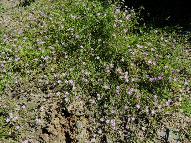 Spergularia rubra - punasolmukki on yksivuotinen tai lyhytikäinen monivuotinen kasvi. Monivuotiset yksilöt kasvattavat usein vankan paalujuuren ja säteittäisesti joka suuntaan leviävän, monikerroksisen varsijoukon. Varret ovat rentoja tai päästään kohenevia ja tavallisesti noin 10-25 cm pitkiä. OP Oulu, Toppila, Toppilan entisen aseman entinen ratapiha, YKJ 20.7.2013. Copyright Hannu Kämäräinen.