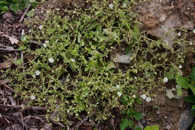 Stellaria aquatica (Myosoton aquaticum) - vata kasvattaa yleensä jo tyvestään varsi- ja haararyöpyn, joka levittäytyy usein rentona pitkin maanpintaa. EH, Hämeenlinna, Majalahti Louhoksentien maankaatopaikka, eteläosa, 21.8.2010. Copyright Hannu Kämäräinen.