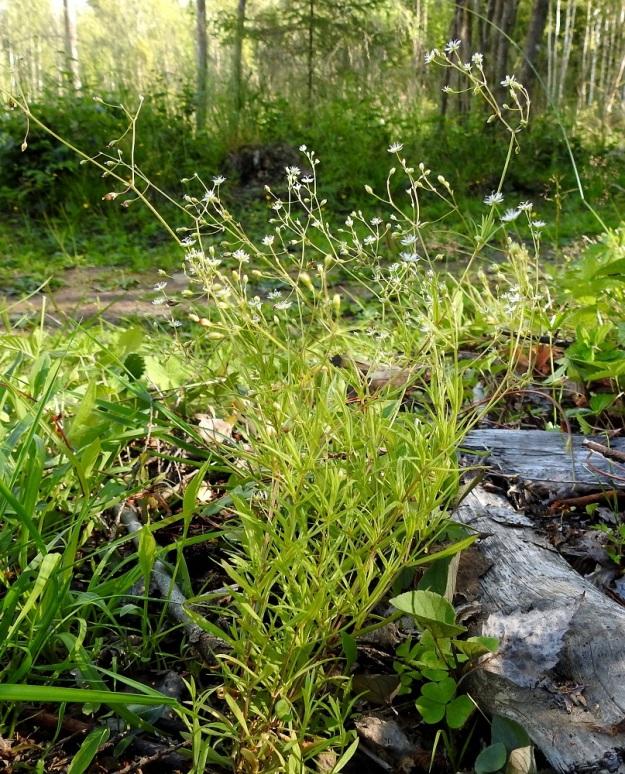 Stellaria longifolia - metsätähtimön varret nousevat lähellä maanpintaa suikertavista rönsyistä harvoina versostoina tai toisinaan myös kuvan tavoin tiheinä, pieninä kimppuina. EH, Hämeenlinna, Vuorentaka, Lakeentien pohjoispäästä lähtevän pelto- ja metsätien laide hakkuuaukean kohdalla, 3.7.2019. Copyright Hannu Kämäräinen.