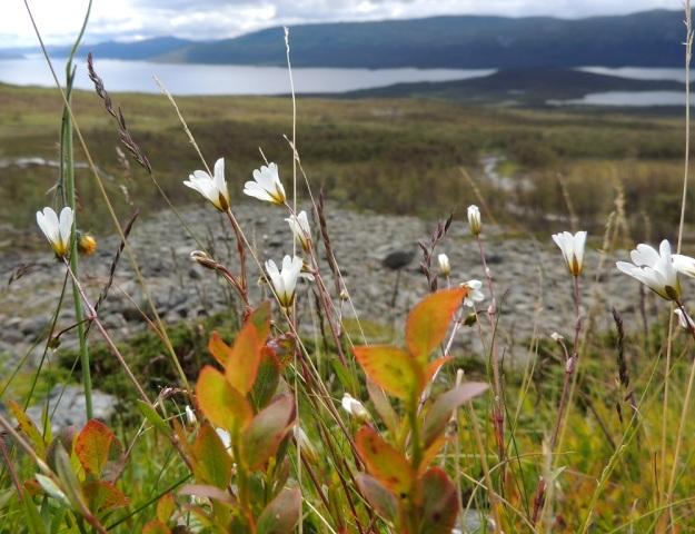 Cerastium alpinum subsp. glabratum - tunturihärkin subsp. kaljutunturihärkin kasvustot ovat yleensä harvahkovartisia. EnL, Enontekiö, Kilpisjärvi, Kalottireitin varsi Iso-Mallan eteläisellä alarinteellä, n. 50 m Kitsijoesta itään , 650 m mpy, 19.7.2013, taustalla Kilpisjärvi. Copyright Hannu Kämäräinen.