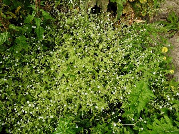 Stellaria aquatica (Myosoton aquaticum) - vata on toisinaan hyvin tiheä ja laaja-alainen. Sen muita kasveja apuna käyttäen kohenevat varret voivat venyä jopa metrisiksi (kuvassa noin 60-70 cm). Kuvassa vasemmalla myös punasavikka, Oxybasis rubra ja oikealla peltoretikka, Raphanus raphanistrum. EH, Hämeenlinna, Ojoinen, Paroinen, jätevedenpuhdistamon kompostiauma-alue, länsilaidan reunavalli, 8.9.2018. Copyright Hannu Kämäräinen.