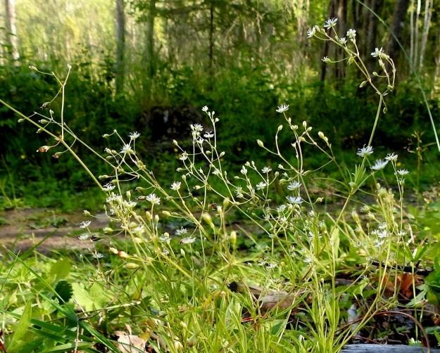 Stellaria longifolia - metsätähtimön kukinto-osa on harsu ja moninkertaisesti kaksihaarainen. Kukat ovat yksittäin haarojen kärjessä ja hangoissa. Kukkaperä on noin 1-1,5 cm pitkä. EH, Hämeenlinna, Vuorentaka, Lakeentien pohjoispäästä lähtevän pelto- ja metsätien laide hakkuuaukean kohdalla, 3.7.2019. Copyright Hannu Kämäräinen.