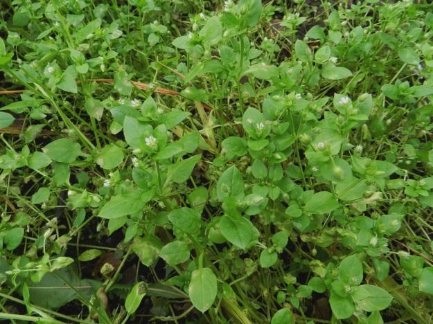 Stellaria media - pihatähtimö saattaa olla maailman yleisin kukkakasvi, niin laajalle se on levinnyt ja sopeutunut hyvin erilaisiin kasvuolosuhteisiin ja erityisesti ihmisen muovaamaan ympäristöön. Verson alemmat lehdet ovat ruodilliset ja ylemmät ruodittomat. EH, Hämeenlinna, Loimalahti, Hirsimäki, Näsiäntie, pihamaan kukkapenkki, 5.11.2011. Copyright Hannu Kämäräinen.