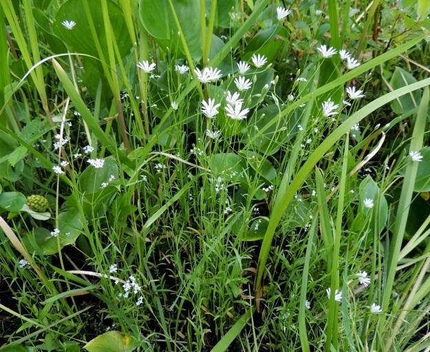 Stellaria palustris - luhtatähtimön versot ovat usein pystyt. Niiden väri vaihtelee sinertävän-, vaalean- ja kellanvihreästä puhtaanvihreään. EH, Hämeenlinna, Keinusaari, Varikonniemi, Vanajaveden vetinen luhtaranta pitkospuupolun varressa, 21.6.2013. Copyright Hannu Kämäräinen.