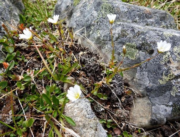 Cerastium alpinum subsp. glabratum - tunturihärkit subsp. kaljutunturihärkit ovat toisinaan vähävartisia ja -kukkaisia, hentoja sekä vain noin 10 cm korkeita. Seuralaisina mm. vaivaispaju, Salix herbacea ja nurmitatar, Bistorta vivipara. EnL, Enontekiö, Kilpisjärvi, Saanan koillispuoli, Saanajärven luoteispäästä nouseva korkea harjanne, kivikkoinen paljakkarinne, 720 m mpy, 6.7.2018. Copyright Hannu Kämäräinen.