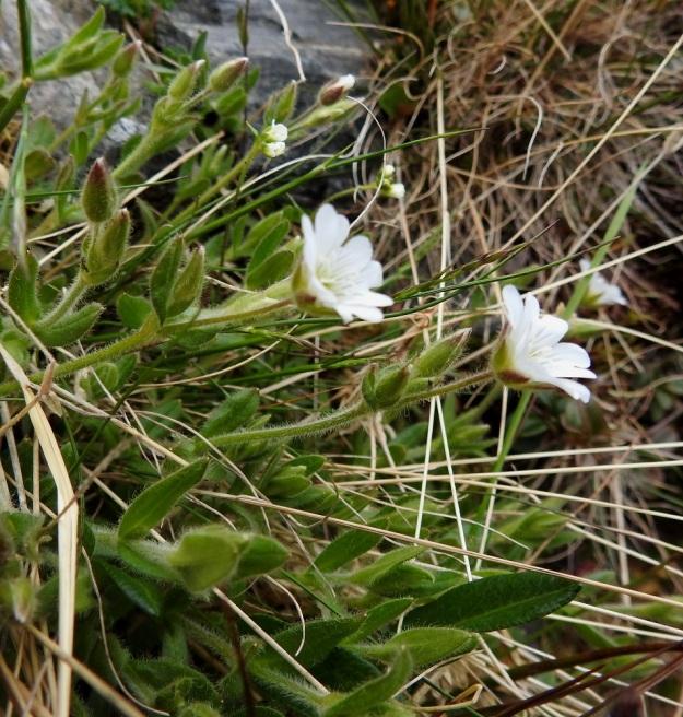 Cerastium alpinum subsp. alpinum - tunturihärkki subsp. karvatunturihärkki on suomalaisen nimensä mukaisesti yleensä kauttaaltaan tiheäkarvainen. Joskus karvoitus voi olla niukempaakin. EnL, Enontekiö, Kilpisjärvi, Saanan jyrkkä, kivikkoinen NE-rinne pahtaseinämän alapuolella, Saanajärven luoteispään kohdalla, 800 m mpy, 6.7.2018. Copyright Hannu Kämäräinen.