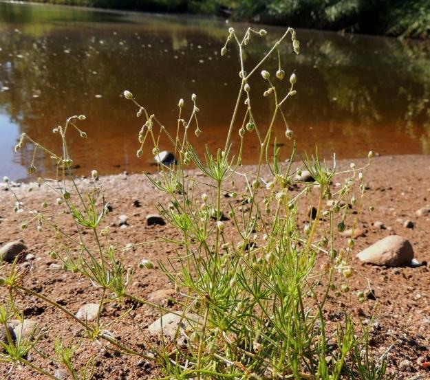 Spergula arvensis subsp. sativa - peltohatikka subsp. pohjanpeltohatikka on tavallisesti 1-10-vartinen. Varret ovat kohenevia tai pystyjä ja harvahaaraisia sekä yleensä noin 40-70 cm pitkiä. Varren nivelvälit ovat noin 3-15 cm eikä kukinnon alapuolella olevan nivelvälin pituus poikkea juurikaan muista alemmista nivelväleistä. St, Pori, Ahlainen, Mustalahti, Skatansuntin ranta Sandöntien sillan lounaispuolella, 14.7.2014. Copyright Hannu Kämäräinen.