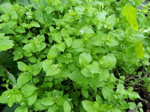 Stellaria media - pihatähtimö on yleensä vaaleanvihreä ja suosii erityisesti kosteita tai kausikosteita kasvupaikkoja, joskin selviää myös kuivemmissa olosuhteissa. Kansan keskuudessa sitä kutsutaan vesiheinäksi, mikä johtunee sen kyvystä sitoa kosteutta. Kasvi on hauras ja kun sitä pyörittelee kourissaan, kädet kastuvat ja ne voi hangata puhtaaksi esim. puutarhatöiden jälkeen. EH, Hämeenlinna, Loimalahti, Hirsimäki, Näsiäntie, pihamaan kukkapenkki, 20.6.2014. Copyright Hannu Kämäräinen.