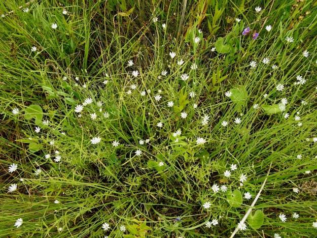 Stellaria palustris - luhtatähtimö on muun, tiheän rantakasvillisuuden seurassa usein koheneva- ja harvahkovartinen. OP, Oulu, Haukipudas, Martinniemi, Kilpukkaperä, Villenniemen pohjoispuolinen rantaniittyalue, 9.7.2019. Copyright Hannu Kämäräinen.