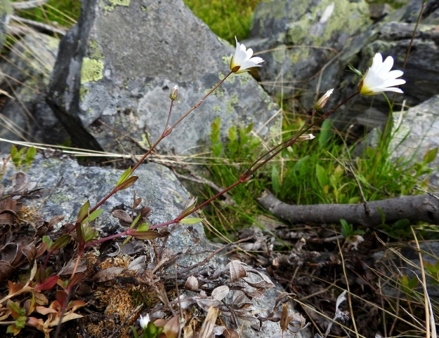 Cerastium alpinum subsp. glabratum - tunturihärkin subsp. kaljutunturihärkin kukintovarret ovat tavallisesti kohenevia. Versoissa on usein enemmän tai vähemmän sinipunaista väriä. EnL, Enontekiö, Kilpisjärvi, Kalottireitin varsi Iso-Mallan eteläisellä alarinteellä, rakkakivikon laiteessa, n. 150 m Kitsijoesta itään, 660 m mpy, 9.7.2018. Copyright Hannu Kämäräinen.