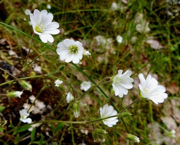 Cerastium alpinum subsp. alpinum - tunturihärkki subsp. karvatunturihärkki on kukinnoltaan harsu ja vähäkukkainen. Versoissa on yleisimmin 1-3 kukkaa. Joissakin kasvustoissa kukkia voi olla neljäkin. Kukkaperä on tavallisesti noin 1,5-3,5 cm pitkä. Ks, Kuusamo, koillisosa, Käylä, Oulankajoen eteläranta, Kiutaköngäs, rantakallio, 10.7.2019. Copyright Hannu Kämäräinen.