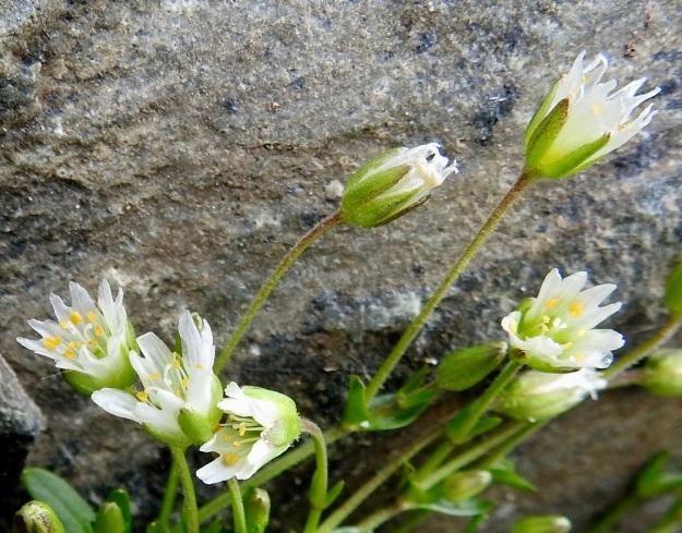 Dichodon cerastoides (Cerastium cerastoides) - lumihärkin kukkaperät ovat yleensä noin 1-2 cm pitkiä. Kukan verholehdet ovat kapeanpuikeat ja kalvolaitaiset sekä yleensä noin 3-5 mm pitkät. EnL, Enontekiö, Kilpisjärvi, Iso-Mallan eteläinen alarinne, Kitsijoen Kitsiputouksen tyvirotko, uoman laide, 645 m mpy, YKJ 9.7.2018. Copyright Hannu Kämäräinen.