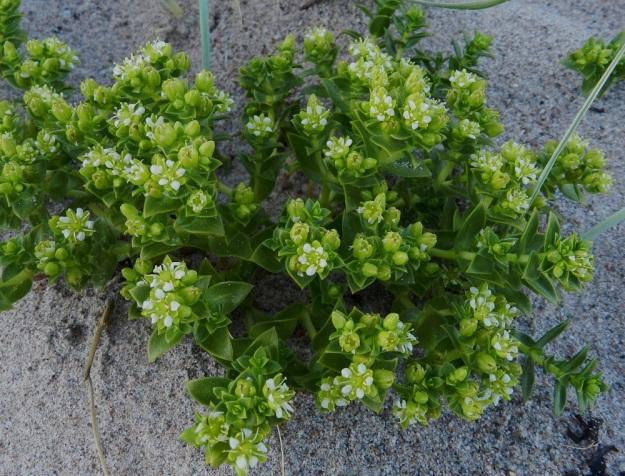 Honckenya peploides - suola-arhon kukat kasvavat yksittäin lehtihangoissa tai kuten kuvan hedeyksilössä, viukoina versohaarojen kärjessä. Kussakin versohaarassa on yleensä 1-6 kukkaa ja haarat yhdessä muodostavat lähes tasalakisen kukinnon. Korkeutta versoilla on tavallisesti 10-30 cm. U, Hanko, niemen eteläpuolen merenranta, Kolaviken, itälaita, Stora Tallholmenin hiekkakannksen tyvi, 18.6.2012. Copyright Hannu Kämäräinen.