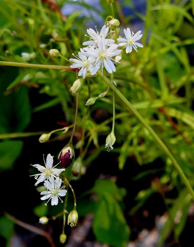 Stellaria longifolia - metsätähtimön pienten kukkien heteet ovat kutakuinkin terälehtien mittaiset. Kukkaperät pitenevät hedelmävaiheessa ja kääntyvät usein alaspäin. EH, Hämeenlinna, Vuorentaka, Lakeentien pohjoispäästä lähtevän pelto- ja metsätien laide hakkuuaukean kohdalla, 3.7.2019. Copyright Hannu Kämäräinen.