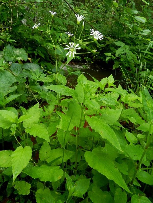 Stellaria nemorum - lehtotähtimön kukkivien versojen alemmat lehtiparit ja kukkimattomien versojen kaikki lehdet ovat herttamaisen puikeat ja pitkäruotiset. Pituutta lehtilavalla on tavallisesti 2-4 cm ja leveyttä leveimmältä kohtaa noin 1,5-2,5 cm. EH, Ruovesi, Siikakangas, Röykkeenneva, pieni lähteikkösuo, Pärjänlähteiltä tulevan puron laiteet, 1.7.2011. Copyright Hannu Kämäräinen.