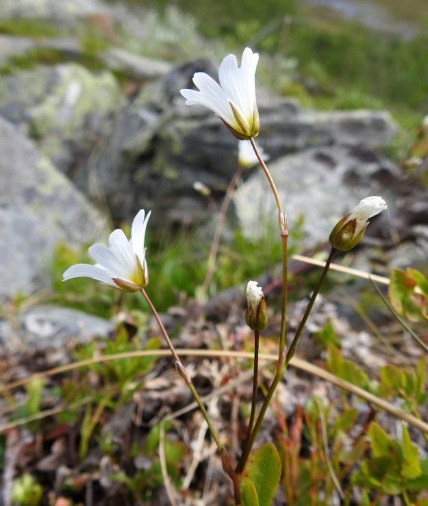 Cerastium alpinum subsp. glabratum - tunturihärkin subsp. kaljutunturihärkin kukinto on harsu ja tavallisesti 1-5-kukkainen. Kukkaperät ovat noin 1-3 cm pitkät. EnL, Enontekiö, Kilpisjärvi, Kalottireitin varsi Iso-Mallan eteläisellä alarinteellä, rakkakivikon laiteessa, n. 150 m Kitsijoesta itään, 660 m mpy, 9.7.2018. Copyright Hannu Kämäräinen.