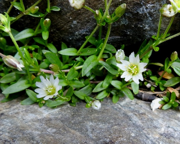 Dichodon cerastoides (Cerastium cerastoides) - lumihärkin kukat ovat läpimitaltaan tavallisesti noin 5-8 mm. Valkoisten ja noin 6-10 mm pitkien terälehtien kärki on lovipainen. Lajikuvausten mukaan terälehtiä on viisi ja heteitä 10 sekä emin vartaloita ja luotteja 3 tai lähes aina 3. Kuvan oikeanpuolimmainen kukka vastaa tarkoin tätä kuvausta. Vasemmanpuoleinen kukka sitä vastoin ilmeisesti edustaa luonnon monimuotoisuutta, siinä kun on terälehtiä 7 ja emin vartaloita ja luotteja 4. EnL, Enontekiö, Kilpisjärvi, Iso-Mallan eteläinen alarinne, Kitsijoen Kitsiputouksen tyvirotko, uoman laide, 645 m mpy, YKJ 9.7.2018. Copyright Hannu Kämäräinen.