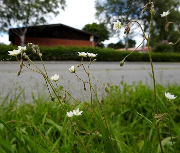 Spergula arvensis subsp. sativa - peltohatikka subsp. pohjanpeltohatikka on yleensä varsistaan, lehdistään, kukkaperistään ja verholehdistään eli kauttaaltaan tiheästi ja tahmeasti nystykarvainen. Niinpä ohikulkevista koirista jää karvamuistoja tienvarren kasvustoihin. EH, Hämeenlinna, Voutila, Lakee, Louhentien laita, uudistettu nurmialue, 2.7.2017. Copyright Hannu Kämäräinen.