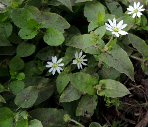 Stellaria aquatica (Myosoton aquaticum) - vadan kukkavarsien alimmat lehdet ja kasvullisissa, kukattomissa varsissa (kuvan vasen laita) myös muut lehdet ovat ruodilliset ja enemmän tai vähemmän herttamaiset. Kukkavarsien muut lehdet ovat ruodittomat ja puikeat tai soikeat. EH, Hämeenlinna, Ojoinen, Paroinen, jätevedenpuhdistamon kompostiauma-alue, itälaita, tieuran vierus, 25.9.2016. Copyright Hannu Kämäräinen.
