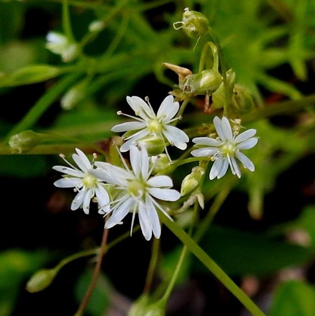 Stellaria longifolia - metsätähtimön terälehdet ovat noin 2,5-3 mm pitkät ja lähes tyveen saakka kaksiliuskaiset. Kuvassa näyttää hämäävästi siltä kuin vierekkäiset liuskat kuuluisivat samaan terälehteen. Näin ei kuitenkaan ole, vaan saman terälehden liuskat muodostavat leveän v-kirjaimen, jolloin vierekkäisten terälehtien liuskat painuvat kiinni toisiinsa tai ovat jopa limittäin. Terälehdet ovat noin verholehtien mittaiset. EH, Hämeenlinna, Vuorentaka, Lakeentien pohjoispäästä lähtevän pelto- ja metsätien laide hakkuuaukean kohdalla, 3.7.2019. Copyright Hannu Kämäräinen.