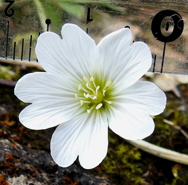 Cerastium alpinum subsp. alpinum - tunturihärkin subsp. karvatunturihärkin hieman kellomaiseksi jäävän kukan läpimitta vaihtelee yleensä välillä 15-20 mm (kuvassa 20 mm). Heteitä on kymmenen ja emin vartaloita ja luotteja viisi. Ks, Kuusamo, koillisosa, Käylä, Oulankajoen eteläranta, Kiutaköngäs, rantakallio, 10.7.2019. Copyright Hannu Kämäräinen.