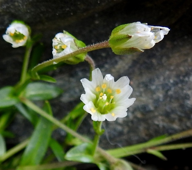 """Dichodon cerastoides (Cerastium cerastoides) - lumihärkin kukkaperät ovat varsien tavoin toispuolisesti lyhyt ja hienokarvaiset. Myös verholehdissä, ainakin niiden tyviosassa, on harvakseen nystykarvoja. Valkoiset terälehdet ovat usein enemmän tai vähemmän läpikuultavia. Kuvassa näkyvä kukka poikkeaa kaikilta lukumääriltään """"määritysnormeista"""": terälehtiä on 7 (ei 5), heteitä on 11 (ei 10) ja emin vartaloita on 4 (ei 3). EnL, Enontekiö, Kilpisjärvi, Iso-Mallan eteläinen alarinne, Kitsijoen Kitsiputouksen tyvirotko, uoman laide, 645 m mpy, YKJ 9.7.2018. Copyright Hannu Kämäräinen."""