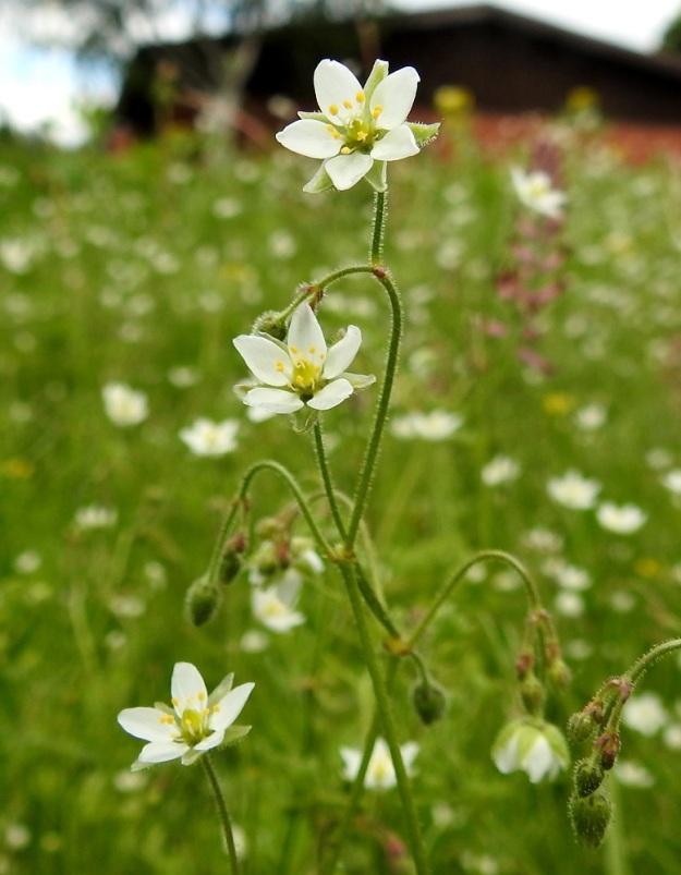 Spergula arvensis subsp. sativa - peltohatikka subsp. pohjanpeltohatikka vaikuttaa harmittomalta rikkakasvilta. Viljelyksillä se voi kuitenkin tämän kuvasarjan ensimmäisen kuvan kaltaisina massakasvustoina vaikuttaa viljelytulosta heikentävästi. Sitä on myös lähes mahdotonta hävittää, koska siemenpankissa voi olla jopa 10 000 siementä neliöllä. EH, Hämeenlinna, Voutila, Lakee, Louhentien laita, uudistettu nurmialue, 2.7.2017. Copyright Hannu Kämäräinen.