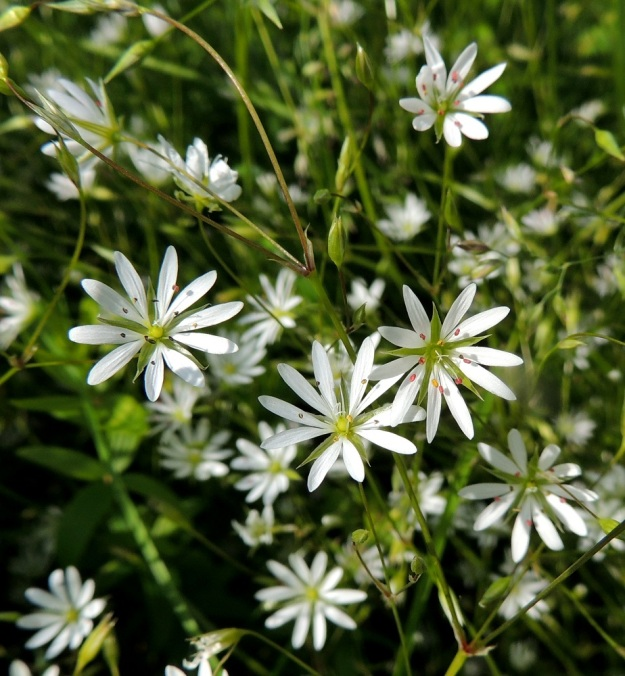 Stellaria graminea - heinätähtimön kaksineuvoiset kukat (kuvassa) ovat noin 7-12 mm läpimitaltaan. Steriileissä hedekukissa läpimitta on vain noin 5-6 mm. PeP, Tervola, Mattinen, Kemijoen kaakkoisranta Laavun tilan lounaispuolella, joen korkean rantatörmän päällys, 16.7.2015. Copyright Hannu Kämäräinen.